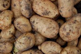 Картопля в Молдові вродила краще, ніж торік, але її якість гірша