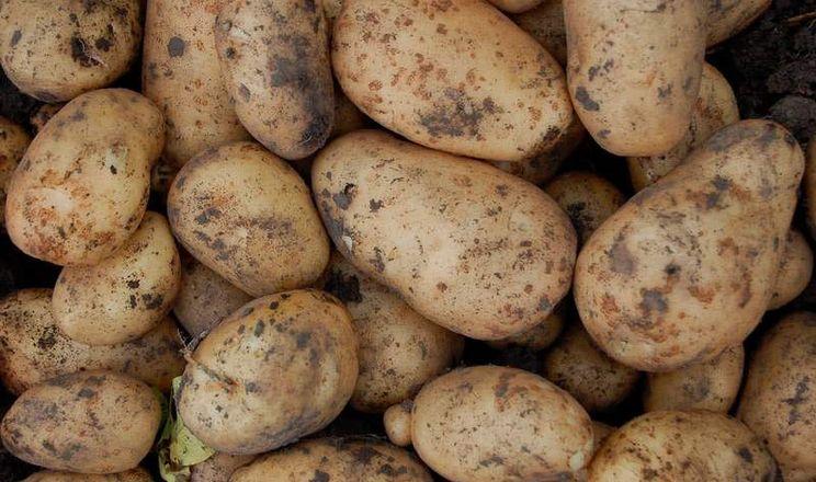 Росія збільшила експорт картоплі у першу чергу за рахунок Донбасу