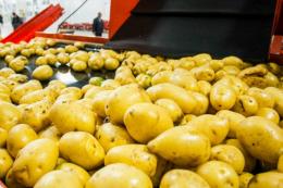 Наступного року побудують потужний картоплепереробний завод