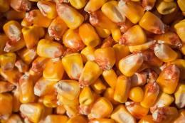 «Епіцентр Агро» вирощуватиме на насіння кукурудзу закордонної селекції