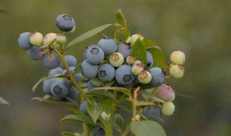 Аргентинці вивели урожайний та смачний сорт лохини