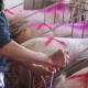 Трансплантація ембріонів – близьке майбутнє свинарства