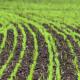 На яких ґрунтах краще родять озимі зернові культури на Поліссі