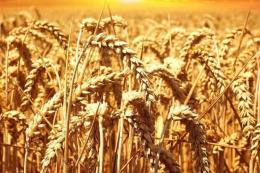 Світове виробництво пшениці може досягти рекордних 780 млн тонн