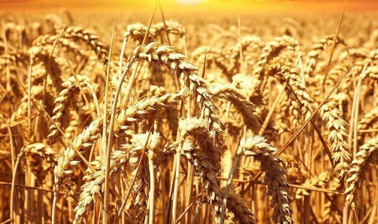 Україна прискорює експорт пшениці