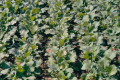 Застосування поверхневого обробітку ґрунту сприяє збільшенню обмінного калію