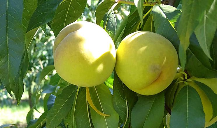 Персик на пуміселекті