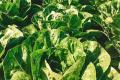 На Харківщині переробне підприємство почало вирощувати салати