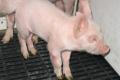 За якою ознакою можна встановити стрептококоз у свиней