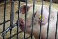 У спеку свині збільшують споживання води уп'ятеро-вшестеро