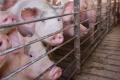 Ферментований ріпаковий шрот впливає на показники крові свиней
