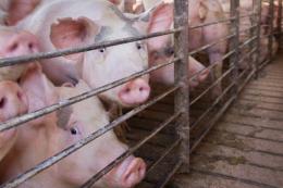 За 9 місяців KSG Agro реалізував на 17,4% більше свиней живою вагою