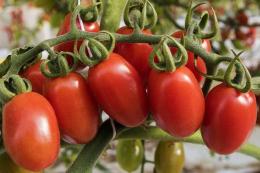 Селекціонери починають роботу над сортами томатів, стійких до вірусу ToBRFV