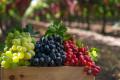 На Херсонщині цьогоріч подорожчали навіть технічні сорти винограду