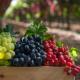 В Італії вивели 40 нових сортів винограду без кісточок