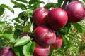 Вчені працюють над яблунями з генетичною стійкістю до бактеріального опіку