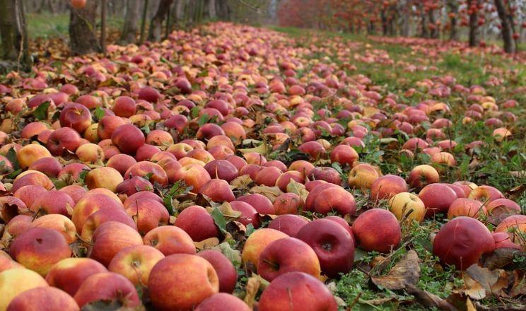 Яблука на сік на Закарпатті приймають по 50 коп/кг