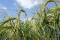 Обґрунтовано причини розширення посівних площ озимого ячменю у південному Степу