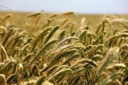 Україна все активніше експортує жито