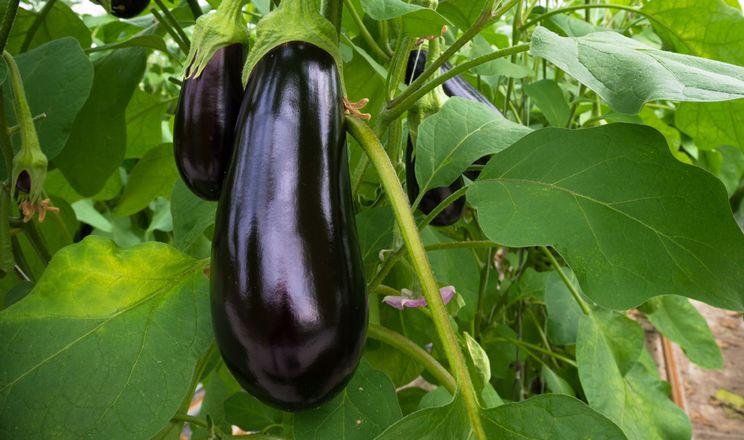 ГМО-баклажани можуть мати на 192% більшу врожайність