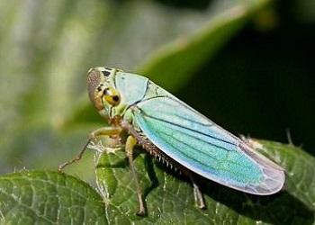 До 100% обстежених площ озимини заселені цикадками