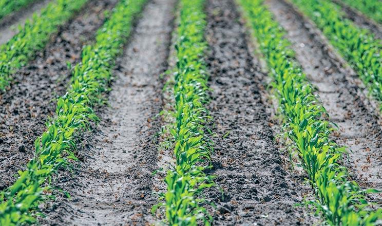 Потужний старт для кукурудзи