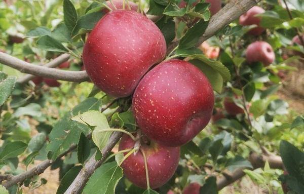 У ПАР виростили нову червону мутацію яблунь Fuji Royal