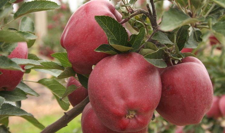 Сорт яблук Глостер у Польщі стає непопулярним
