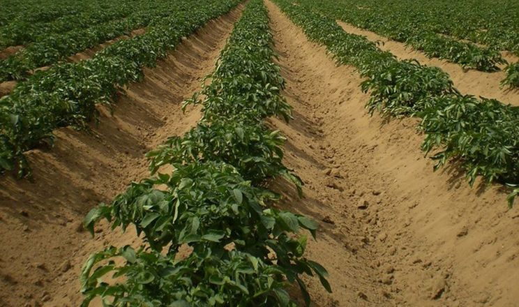 Гребені для картоплі роблять об'ємними для комфортного розміщення бульб