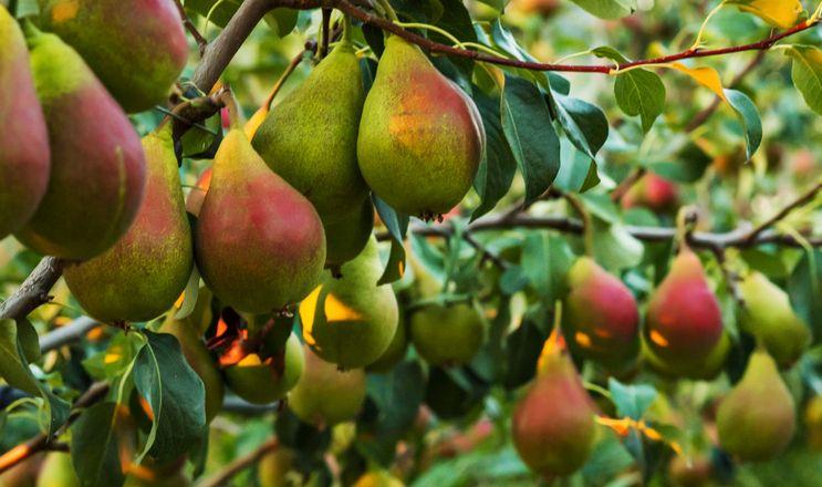 В ЄС зниження виробництва груш, в США – незначний ріст
