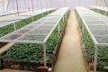 У Зімбабве почали розмножувати насіннєву картоплю, щоб зменшити імпорт