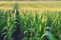 Limagrain представила на Digital Field нові посухостійкі гібриди кукурудзи