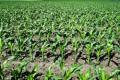 Кукурудза в монокультурі потребує більше азоту, ніж за іншої сівозміни
