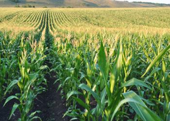 Як ширина міжряддя кукурудзи впливає на її урожайність