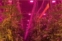 Зібрали перший урожай томатів у найбільшій в Німеччині світлодіодній теплиці