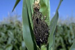 Відтепер діагностувати летючу сажку кукурудзи можна на стадії її інфікування