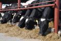 Villa Milk придбала 72  нетелі