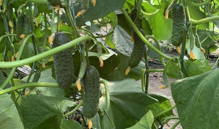 Фермери сподіваються на зростання ціни на огірки в другій половині осені