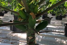 В нідерландській телиці почали вирощувати папайю