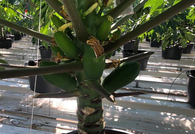 В нідерландській теплиці почали вирощувати папайю