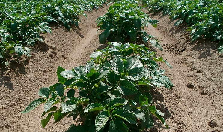 Продуктивність насіннєвої картоплі