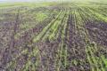 Одещина лідирує за площами посівів озимини