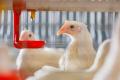 ПЛР-дослідження на основні інфекційні захворювання птиці роблять що чотири місяці