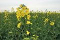 Озимий ріпак має найвищий фотосинтетичний потенціал на початку дозрівання, – дослідження