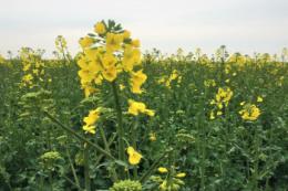 На ступінь забур'яненості посівів ріпаку впливає спосіб обробітку ґрунту