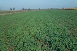 Посівні площі під озимим ріпаком скоротилися на 30%