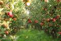 Буковинський садівник спрогнозував урожай яблук