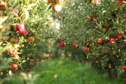40% виробників фруктів і ягід в Україні планують розширення площ