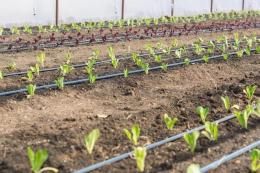Одеські фермери у жовтні висадили салати