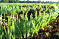 Як підвищити ефективність азотного удобрення озимини в умовах кліматичних аномалій